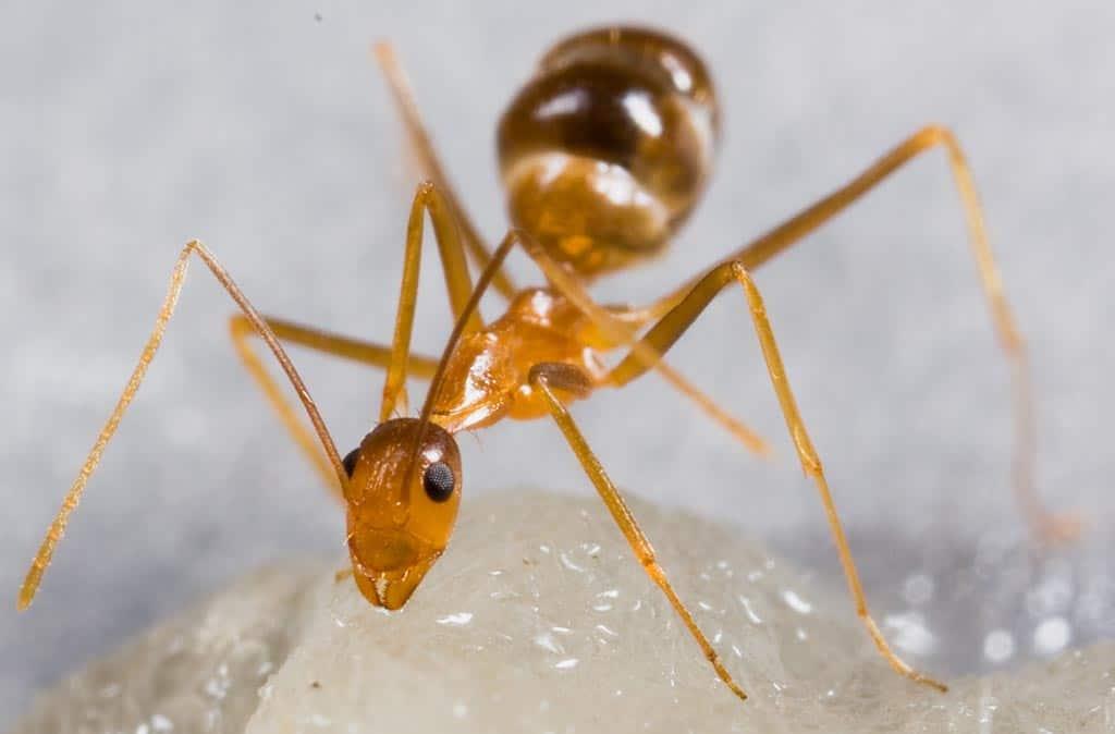 Hormiga amarilla