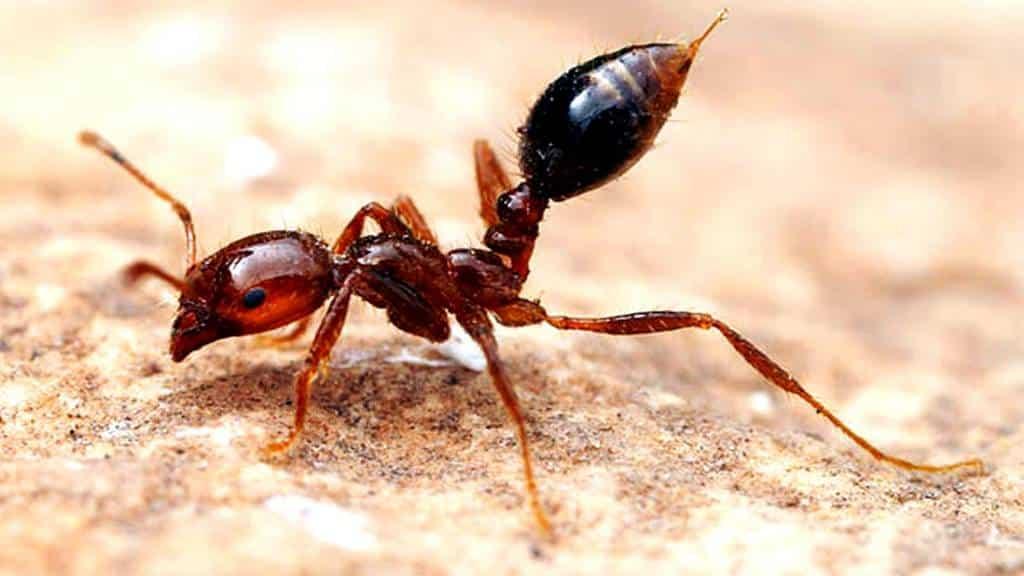 Imagen de las Hormigas de fuego