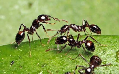 hormiga de fuego negra importada