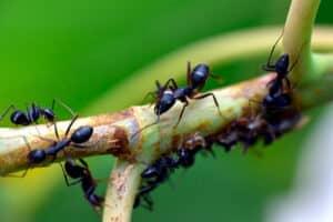 Hormigas obreras